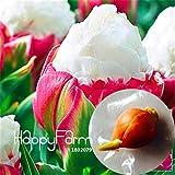 100% de germinación 2 PC verdaderos bulbos de tulipán, bulbos de flores de arco iris tulipán, tulipán (no semillas), jardín materiales de plantas, flores raras 1