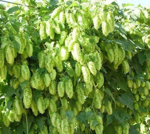 Portal Cool El Dorado Hop Seed * Bulk-100 Seeds * Tropical/fruchtiges Aroma * Cash Crop * Bier