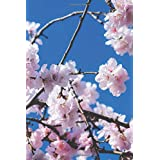 Notebook - リストを行うには、 お花見、お花見、さくら、ノート、桜の花びら、120ページ、外出先に最適、バックパックやバッグに収まる6 x 9インチの本