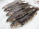 岩魚(イワナ)冷凍 新潟魚沼産 21㎝~22㎝サイズ 10尾入