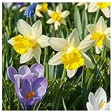 Plant & Bloom Tulpenzwiebeln aus Holland, 50...