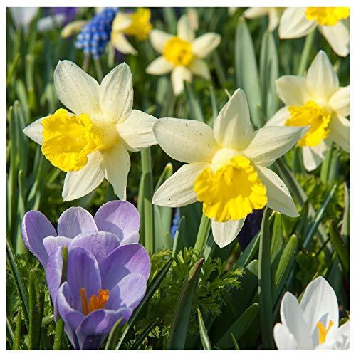 Plant & Bloom - Bulbos de flores de Holanda - Mix Tulipanes, Narcisos, Anémonas, Crocus, Jacintos – 50 bulbos, plantación en otoño, floración primaveral – Calidad superior holandesa