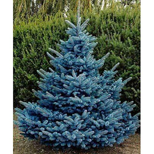 Blue Spruce Seeds for Planting | 20 Seeds | Colorado Blue Spruce, Picea pungens glauca | Attractive Trees fro Privacy or Landscaping
