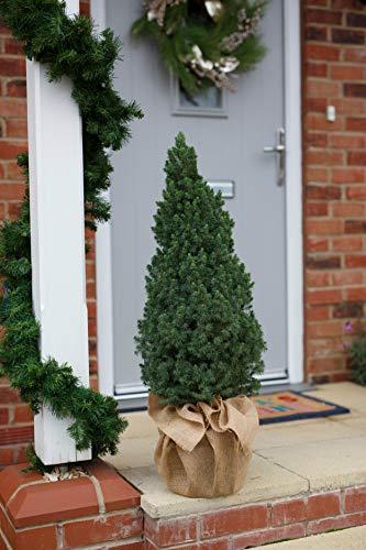 Hayloft Miniature Christmas Tree |Hessian-Wrapped Picea Glauca| Real Tree| Lights Included | 2 x Tree