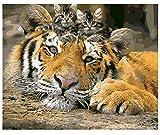 Animales Diy Pintura By Numbers Tiger Cat Paint By Numbers Home Arte De La Pared Imagen Caligrafía Pintura Obra Sin Marco 40x50Cm