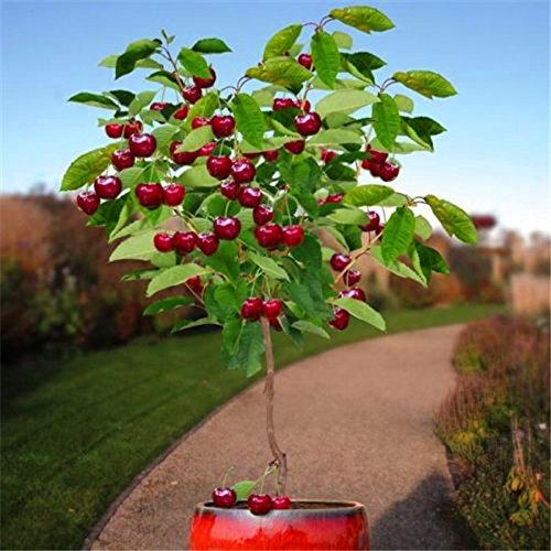 Fruchtsamen 30pcs Kirschsamen Baumsamen Bonsai-Baum-Samen, Hausgarten-Topfpflanze DIY Hausgarten-Dekoration AA