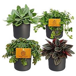 Mix 4 plantes faciles d'entretien avec cache-pots | Pilea, Peperomia, Sedum, Senecio | Petites plantes d'intérieur…