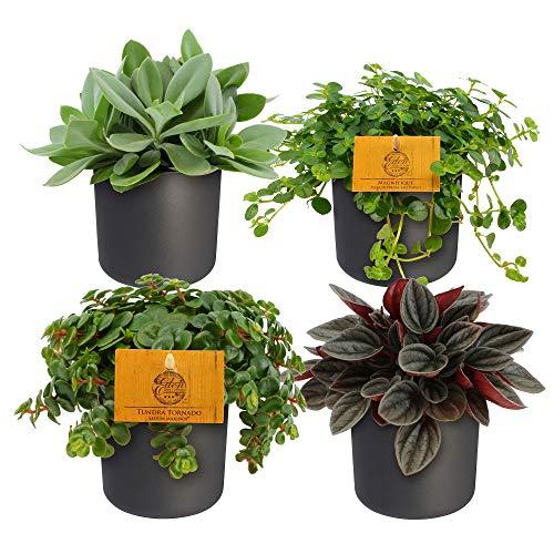 4er Set | Pflegeleichte Pflanzen |...