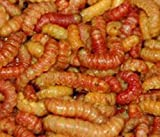 Elliot's Butterworms Live Butter Worms for Reptile Food and Fishing Bait (50 count)