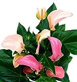 ANTHURIUM DUO, ROSA e ROSA INTENSO, vaso 17cm, pianta vera