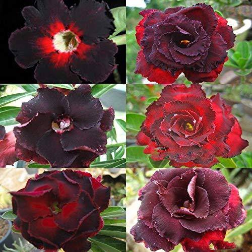 KINGDUO Egrow 5Pcs/Pack Brun Noir Désert Graines De Roses Balcon Bonsai Fleurs Ornementales Plantes Adénium