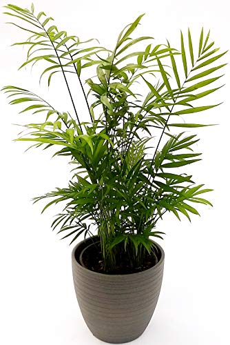 CHAMADOREA ELEGANCE - Palma peruana en jarrón de cerámica satinada, maceta de 16 cm de altura y 70 cm de planta real