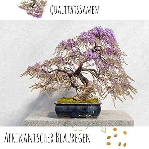 Exotische Bonsai Samen mit hoher Keimrate - Pflanzen Samen Set für deinen eigenen Bonsai Baum (1x Afrikanischer Blauregen)