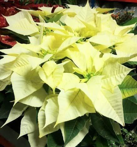 SAGEAWAY Semillas de la Planta Euphorbia pulcherrima
