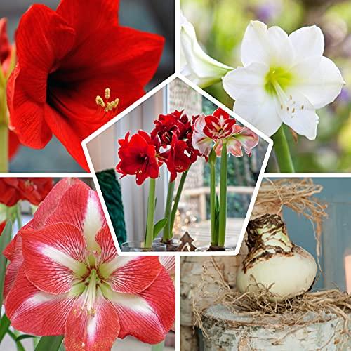 3x Amaryllis Zwiebel Budget Kollektion | Grossformat 26/28 (3 Zwiebeln) | Exklusive Blumen Zwiebeln aus Holland