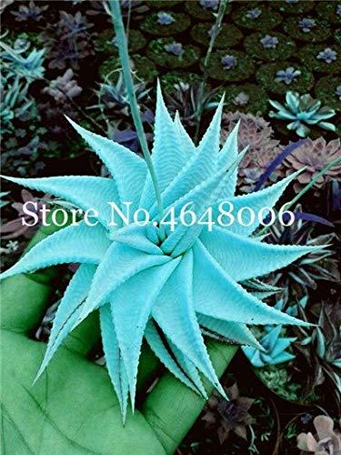 Dichondra Fresh 120 Pcs Aloe Vera Plant Seed for Planting Sky Blue 1
