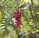Schinus Molle - Pepe Peruviano - 20 Semi Freschi, Frutta, Fiore, Albero, Vite, Arbusto, Semi