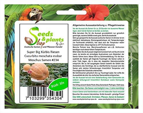 Stk - 10x Riesen Kürbis Cucurbita moschata Moschus Pflanzen - Samen #234 - Seeds Plants Shop Samenbank Pfullingen Patrik Ipsa