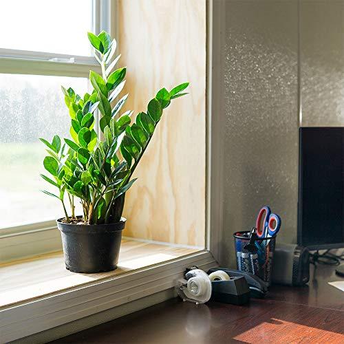 完美植物ZZ植物- 6在。种植盆| Zamioculcas Zamiifolia | Easy Care Houseplant |适合中等到明亮的光照条件(6在种植者的花盆中)
