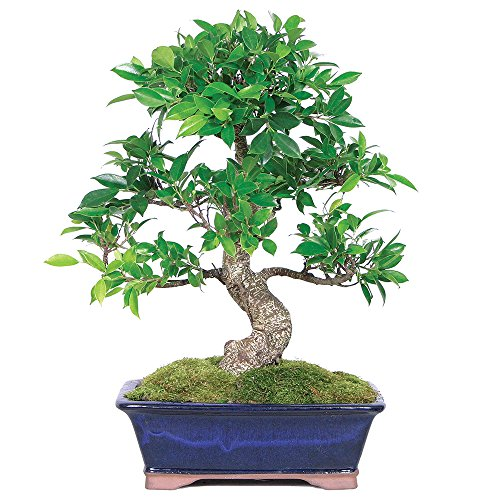 Brussel's Bonsai CT3004GGF indoor bonsai, Large, Golden Gate Ficus