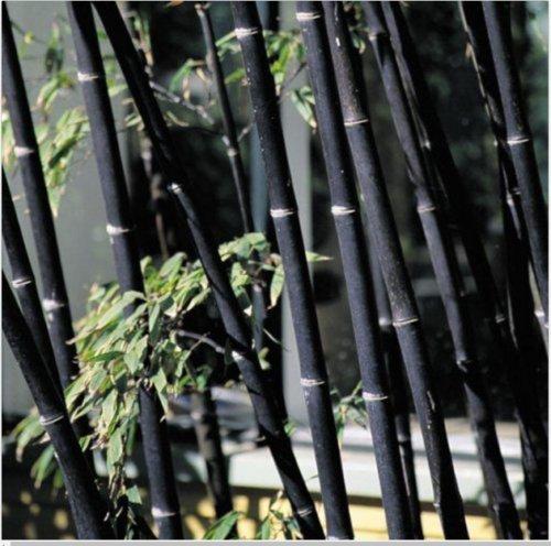 100 graines de bambou noir frais - Phyllostachys Nigra (Hardy) h