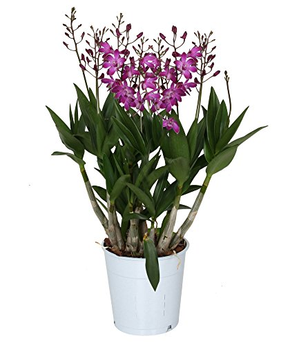 BALDUR-Garten Dendrobium