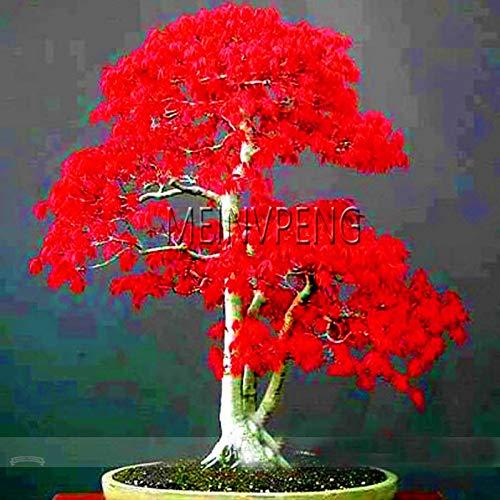 Pinkdose Verkauf!100{edc1f2f2a5d0a19c8da508434e30c06e4e86463ea6fe9483b44e323a6e205b20} echte japanische rote Ahorn Bonsai-Baumpflanzen Professionelle Packung Sehr schöne Indoor Baum Hausgarten Pflanzen, 50SEED