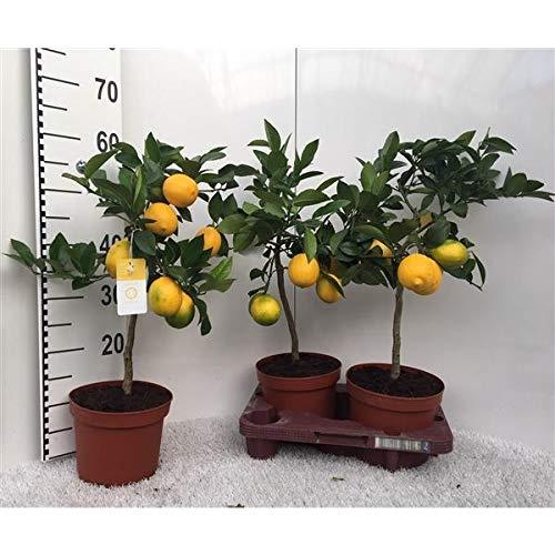 Zitronenbaum Meyer -Lisa- 30 cm ohne Früchte Citrus Meyer Lemon