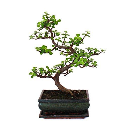 Exotenherz - Bonsai - Portulacaria afra - Jadebaum - Afrikanischer Elefantenbaum - ca. 7-8 Jahre