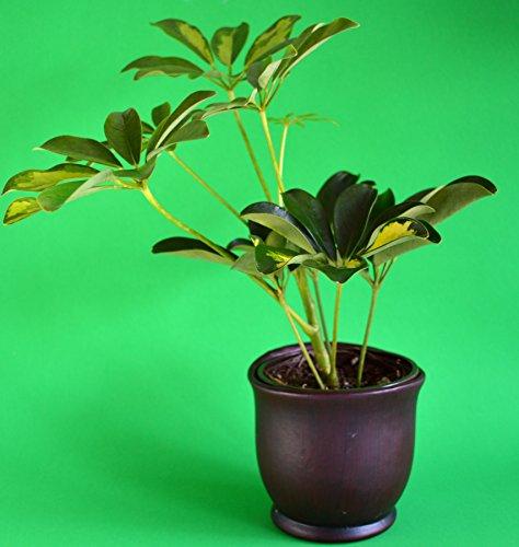 Schefflera arboricola Tree set with a 4
