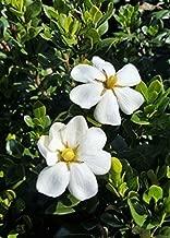 Southern Living Plant Collection 2102Q 2.5 Qt - Scentamazing Gardenia, Evergreen Shrub, Fragrant White Blooms, Quart