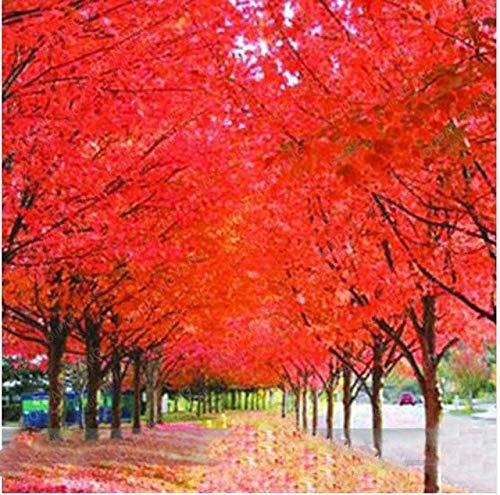 Elitely semillas de bonsái de arce rojo, 20 unidades de semillas de bonsái para bricolaje, hogar, jardín, arce, bonsái, semillas de balcón, color rojo