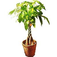 フラワーキッチン 観葉植物 パキラ の鉢植え (パキラ7号)