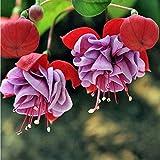 semi fucsia semi di fiori lanterna semi di fiori raro colorato colore misto 10 pz/borsa facile da coltivare giardino domestico