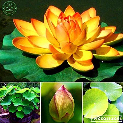 Lotosblume, Lotossamen, Pflanzen Wasserpflanzen Wasser Seerose Blumen Samen Pflanzen für Hausgarten 10pcs e41 Goldene