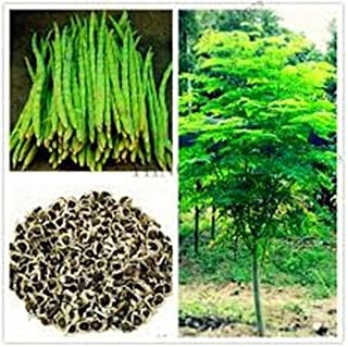 moringa plant for sale