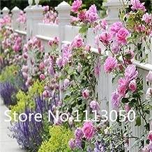 2 : Sale! 200Pcs 10 Kinds Bonsai Polyantha Rose Seeds Organic Blooming Flower Seeds Garden Plant