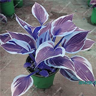 Hot Sale 2018 Exotic Hosta Plant Seed Four Seasons Flower Perennial Mixed Plantain Lily Flower Ground Cover Flower Seed Garden Supplies 50pcs (6)