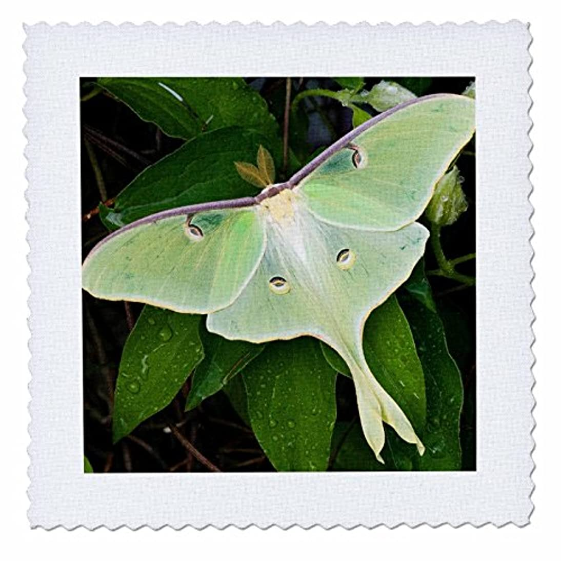 3dRose qs_206689_2 Luna Moth on Carnaby Clematis, SP, Marion Co Il Quilt Square, 6 by 6 ieaq399321234705