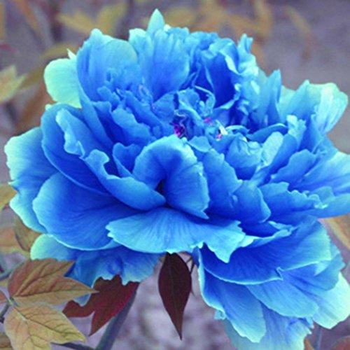 Tomasa Samenhaus- Seltene China Pfingstrose Samen,Paeonia Blume Zierblumen Pfingstrosenblüten mehrjährig Blumensamen für Barkon, Garten