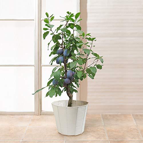 初夏の花 特集 [イイハナ・ドットコム]? 実付きプルーンの鉢植え(6号) フラワーギフト プレゼント