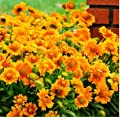 Caiuet Seed house - 50Pcs Colorful Chrysanthemum Mix,Perennial Ornamental Flower Home Gardening Balcony Potted Mixed Daisy Flower Seeds