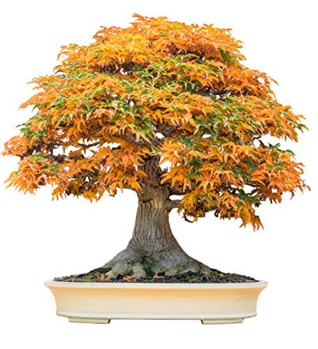 Bonsai Tree Seeds, Trident Maple | 20+ Seeds | Highly Prized for Bonsai, (Acer buergerianum) 20+Seeds