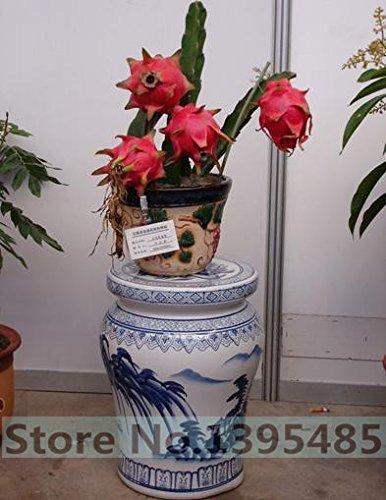 100 Pcs Dragon Fruit Graines Pitaya Graines No-Ogm Fruit Semences pour jardin Plantation