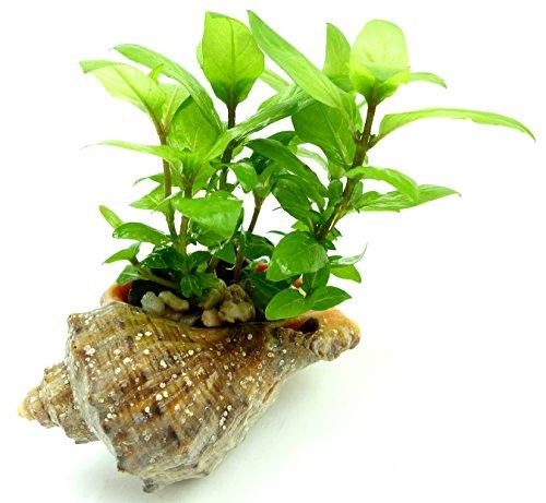 staurogyne repens (Kriechende Staurogyne) Süsswasser Pflanze Seekanne Wasserpflanze Terrarium Pflanze