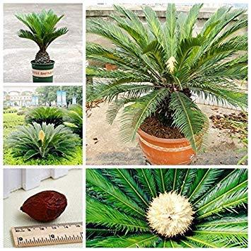 Vistaric Cycas Seeds Maceta Balcón Saco de plantación Maceta Semilla de flores Bonsai Cycads Árbol para el jardín de su hogar Semilla grande 1 unids