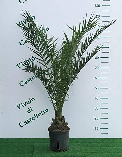 Palma Phoenix canariensis'Palma delle Canarie' in vaso ø22 cm