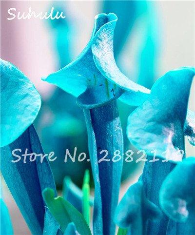 60 Pcs vivaces Nepenthes Seeds Carnivores Venus Fly Trap plus chaud du monde des plantes Graines Bonsai Garden Seed Color Mix Livraison gratuite 15