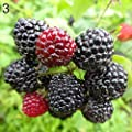 XKSIKjian's Garden 50 Pcs Rare Delicious Raspberry Fruit Seed Ornamental Plant Home Yard Office Decor Non-GMO Seeds Open Pollinated Seeds for Planting