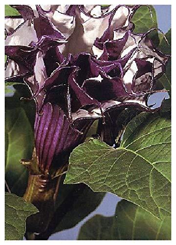 TROPICA - Teufelstrompete (Datura metel purple) - 12 Samen